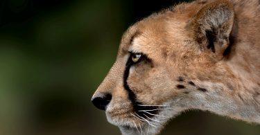 Svelato l'identikit del ghepardo gigante: il predatore vissuto un milione e mezzo di anni fa