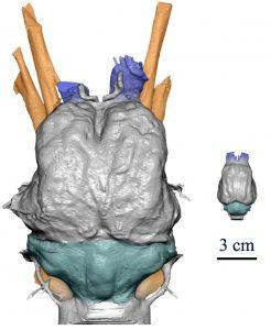 Confronto dei modelli 3D degli encefali di bradipo gigante (sinistra) e di bradipo attuale